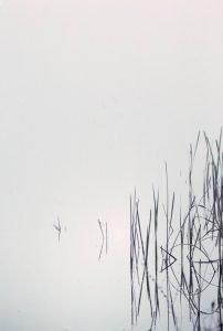 pond reeds light